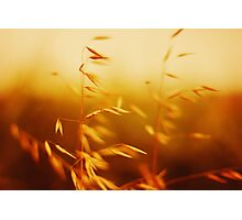 Idyllic rural scene in sunset. Oat close up view. Photographic Print