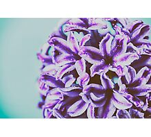 Wet Common Dutch Garden Hyacinth (Hyacinthus Orientalis) With Water Droplets Photographic Print