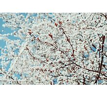 White Apple Tree Flowers Spring Blossom Photographic Print