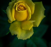 Yellow rose by alan shapiro