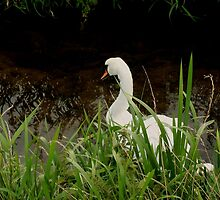 Swan by acreativevision