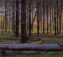 pine forest calm reserve by Elliot62