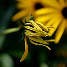 Black-Eyed Susan by DJ Fortune