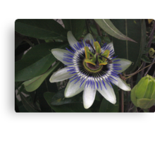 Delicate and Beautiful Passiflora Flower Canvas Print