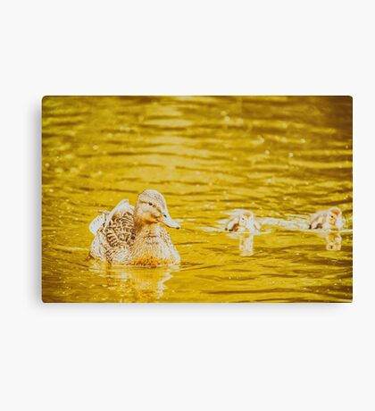 Mother Duck With Small Ducklings On Water Canvas Print