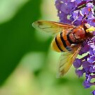 Hoverfly ,  Volucella Zonaria . by relayer51
