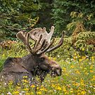 Bull Moose by Kathleen  Bowman