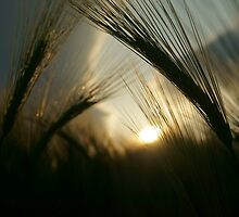 Barley Field by MJRobertson