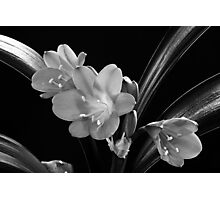 Mother's Clivia Lily Photographic Print