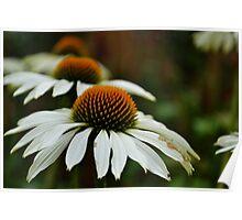 Triple Daisy @ Botanical Gardens Poster