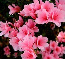 Lovely Azaleas by ctheworld