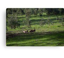 Kangaroos Eltham Victoria Australia 20160802 7263  Canvas Print
