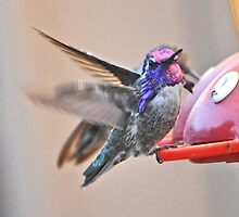 MALE AND FEMALE HUMMINGBIRDS ON FEEDER PERCH by JAYMILO