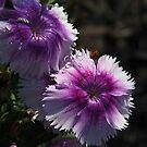 Dianthus in the Rain by Linda  Makiej Photography