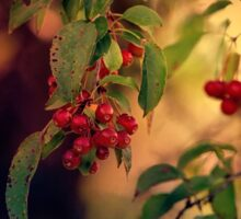 Red Berries in Fall Sticker