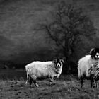 Sheep In The Dales by Steven Dworak