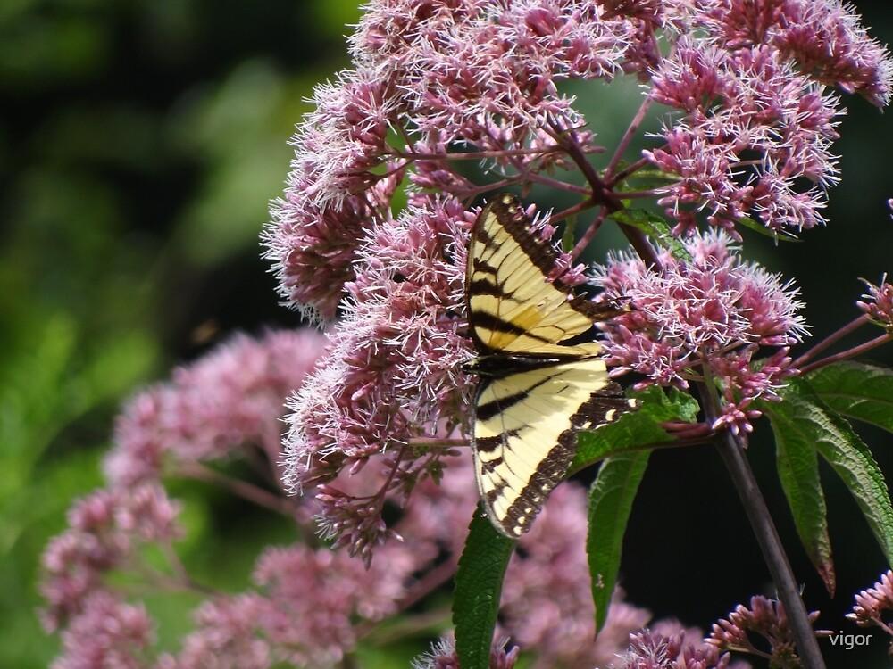 Finally, a Swallowtail! by vigor