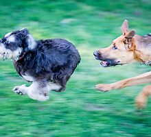 Dogs playing by marcoaaa