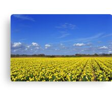Daffodil fields in Hampshire, England Canvas Print