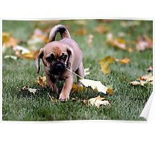 Puggle Puppy Dog Portrait Poster