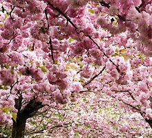 Cherry blossoms in Milan, Italy by Julia  Hiebaum