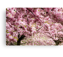 Cherry blossoms in Milan, Italy Canvas Print