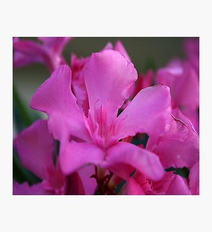 Pink Oleander Flower With Green Leaves in the Background  Photographic Print
