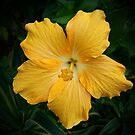 Golden Hibiscus by Keith G. Hawley