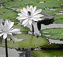 Lily Pad 1  by D-GaP