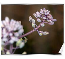 Red Cabbage Flower Pods Macro Poster