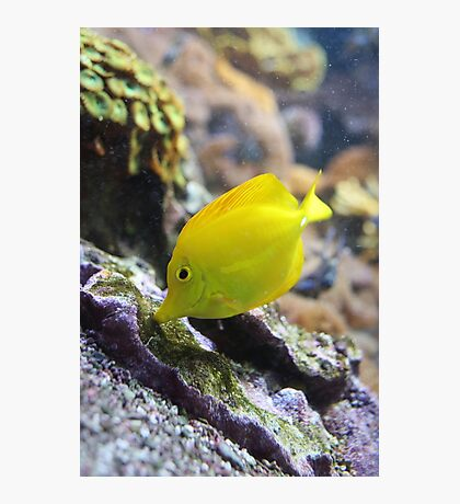 Yellow Fish Photographic Print