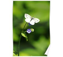 Forget-Me-Not Butterfly Poster