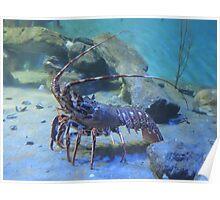Lovely Lobster Poster