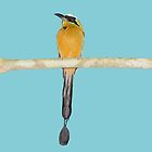 Blue-Crowned Motmot Sideways Glance by hummingbirds