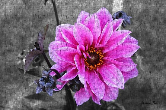 Twilight Dahlia with Texture by SummerJade