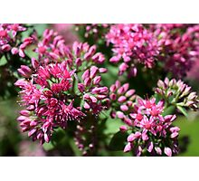 beautiful pink little flowers Photographic Print