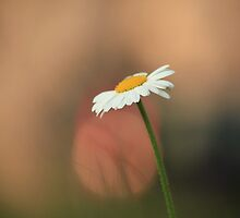 The Daisy and the Tail Light by Ursula Rodgers Photography