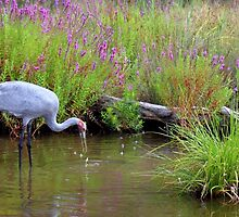 Brolga wetlands by Barry Armstead