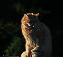 Ginger cat snarling on garden fence by turniptowers