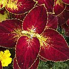 Flaming Coleus by Rusty Katchmer
