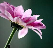 Single flower by Joyce Knorz