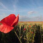 Sunshine and Poppies by Murray Breingan