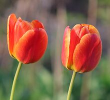Red and Yellow Tulips by Gilda Axelrod