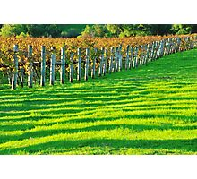 vineyard in early autumn Photographic Print