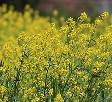Yellow Wildflowers by Gilda Axelrod