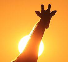 Giraffe Silhouette - Golden Sunset African Wildlife by LivingWild