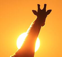 Giraffe Silhouette - Golden Sunset African Wildlife by LivingWild