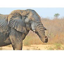 Elephant Bull - Beautiful Mud - African Wildlife Photographic Print
