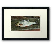 rudd fish scales Framed Print