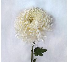Curly White Mum Photographic Print